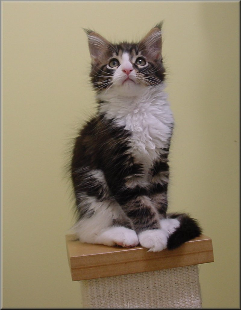 Maine Coon Kittens For Sale by Mariama® - Ontario, Canada