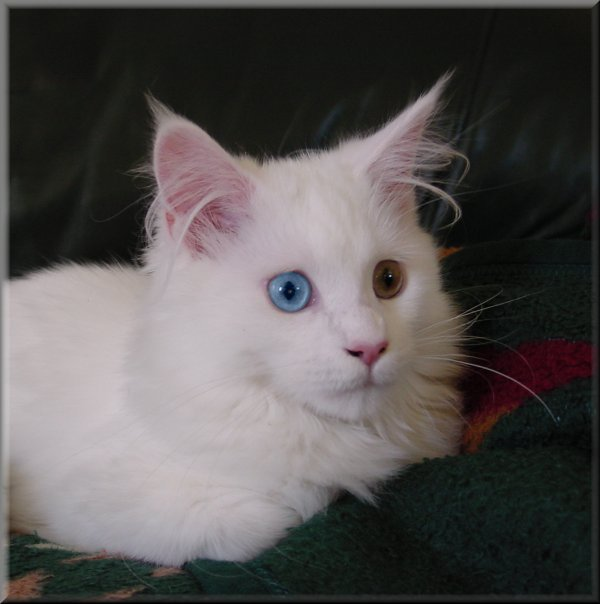 Solid White Cats For Sale